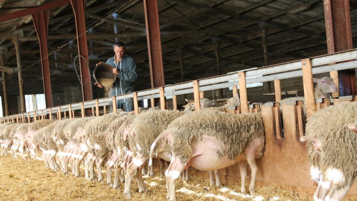 Moutons en intérieur avec éleveur