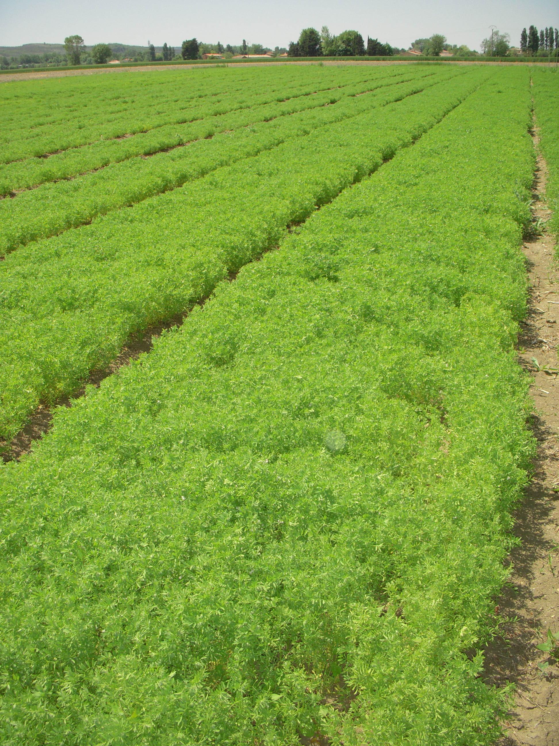 Lentilles - plants